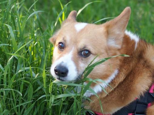 草を爆食いするん怒ったら、めちゃ不機嫌な顔を返してくるしずやんさん (-_-)