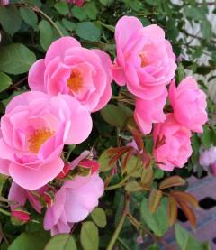 ヘタクソな写真で分かり辛いけど、透き通ったピンク色をしたとっても綺麗なバラなのです。