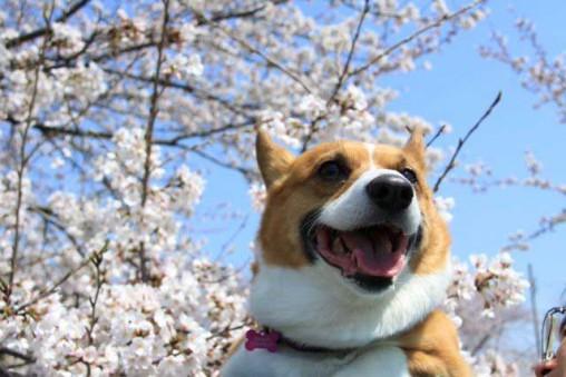 花ママさんから頂いた写真です。毎年春に桜をバックにした桃の写真を送ってくださいました。